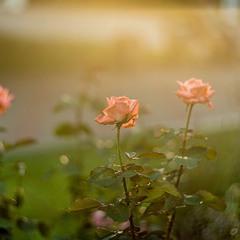 Троянди в контровому світлі
