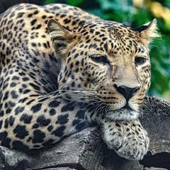 Далекосхідний леопард