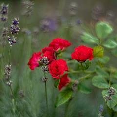 Мікротроянди та лаванда