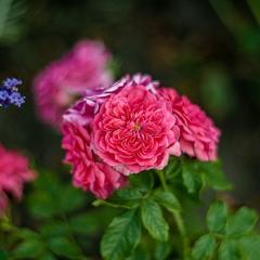 Серпневі троянди