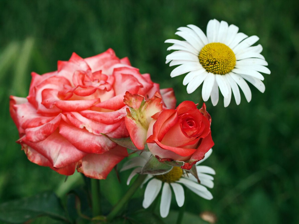 лице ромашка среди роз фото красавец фото