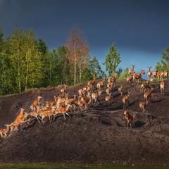 там где живут олени