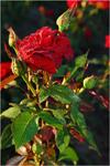Троянди квітнуть.