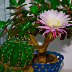 Кактус цвіте
