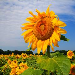 Веселий соняшник