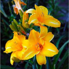 Лілейник цвіте барвисто