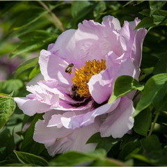 Бджоли на квітах