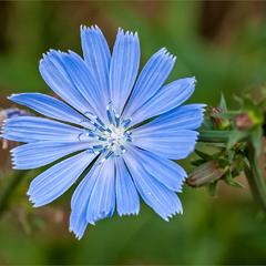 Небесна квітка.