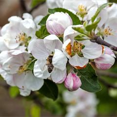 Яблони в цвету, весны творенье...