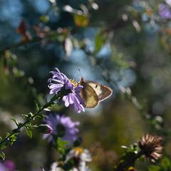 сонячний жовтневий метелик