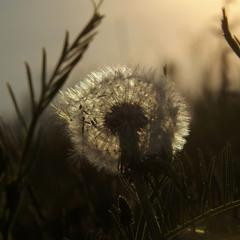 Кульбабка в траві