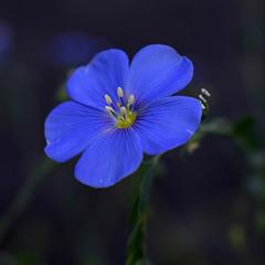 Синьоока.