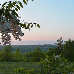 Ранкова прогулянка під час цвітіння акації.