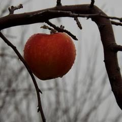 Листопадове яблуко.
