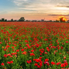 The fields of red