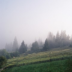 Morning Foggy Forest