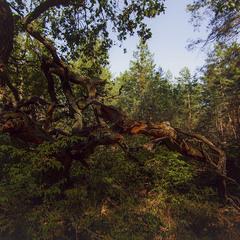 Сосновый лес...