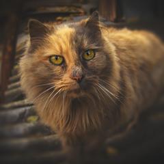 Шиферный Кот