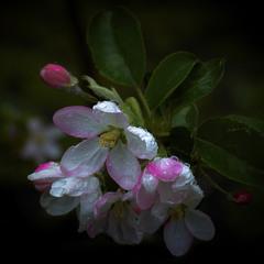 Цвет яблони в дождливый день...