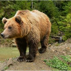 Carpathian beast
