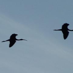 ибисы летят