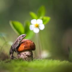 Цветет земляника