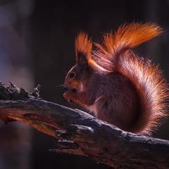 Белка песенки поет Да орешки все грызет...
