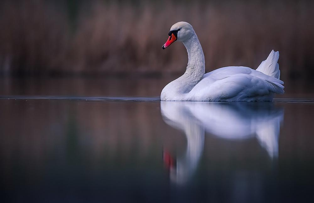 А белый лебедь на пруду картинки для
