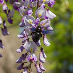 Глициния и пчела-плотник
