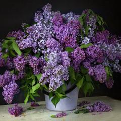 Душа поёт весне сонеты,  и вновь моя сирень цветёт!