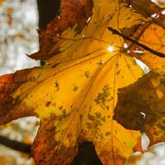 Крізь осінне листя