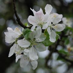 Яблонька цветет!)