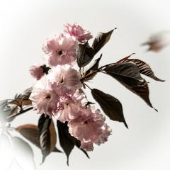 Цветет Сакура в парке Киото