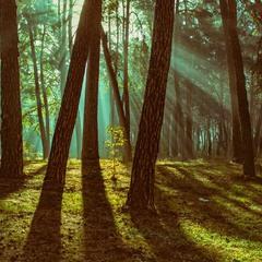 Ліс в тумані, що спливає