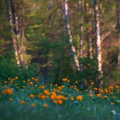Вечерний закат в лесу с майскими Огоньками...