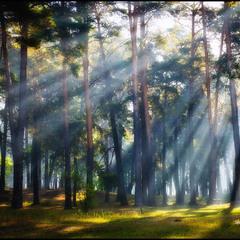 Сни соснового лісу