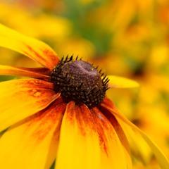 The Flower of Sun