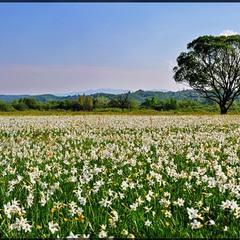 долина Нарцисів
