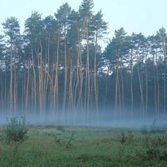 Лягли туманы белые над лесом