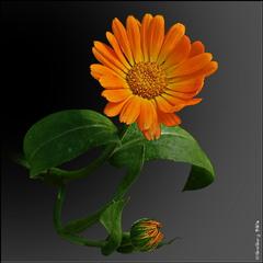 Нагідки лікарські, календула, крокіс *Pot Marigold, Ruddles * Calendula officinalis