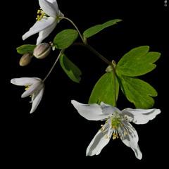 Анемона лісова / Snowdrop Anemone / Anemone sylvestris