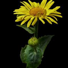 Сугайник, Доронікум або жовта ромашка / Doronicum