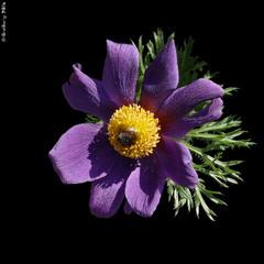Сон чорніючий, Сон-трава чорніюча / Small Pasque Flower / Pulsatilla nigricans