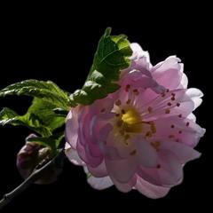 Вишня повстиста / Nanking cherry / Prunus tomentosa or Cerasus tomentosa