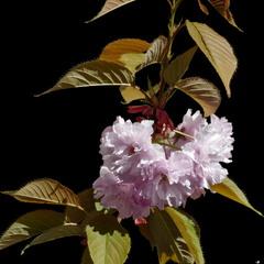 Японська вишня або Сакура  / Japanese Cherry or Sakura   / Prunus serrulata