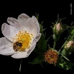 Шипшина собача / Dog-Rose / Rosa canina, Rosa ciliato-sepala Blocki