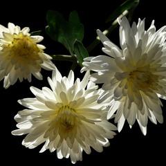 Хризантема / Mums or Chrysanths / Chrysanthemum