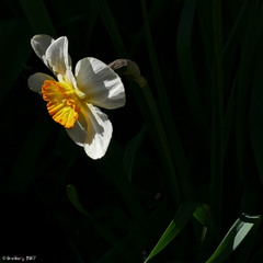 Нарцис несправжній / Narcissus pseudonarcissus