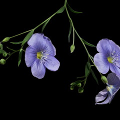 Льон-довгунуць, льон-кучерявець або льон-кудрявець / Flax or Linseed / Linum usitatissimum