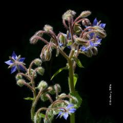 Огірочник лікарський, бораго / Borage or Starflower  / Borago officinalis